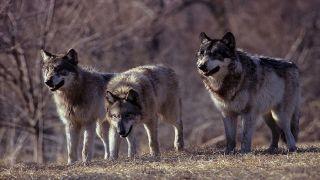 W podbrzozowskim lesie wilki zaatakowały pilarzy